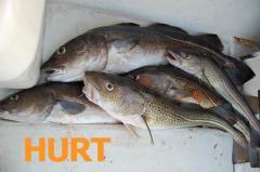 Świeże ryby: dorsz flądra śledz sieja turbot sandacz okoń leszcz płoć inne. DOWÓZ.