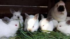 tuszki z królika / dostawa