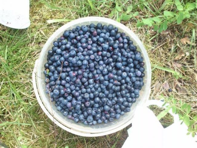 nazbieram jagody lesne
