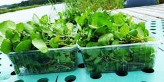 Domowa uprawa Rukwi Wodnej - jednej z najzdrowszych roślin na świecie