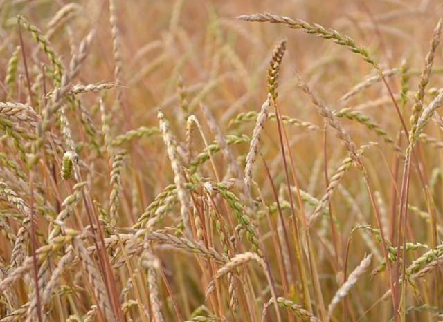 Mąka Orkiszowa Pełnoziarnista z ekologicznego Orkiszu [ Ostro ]
