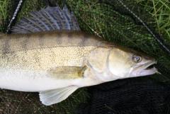Węgorz,sandacz,sum,lin inne świeże ryby z wlasnych połowów