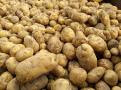 Ziemniaki młode Denar bardzo duże