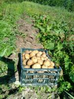 ziemniaki mlode kopane na zamówienie Eko