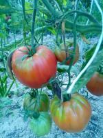 Pomidory stardard ekologiczny