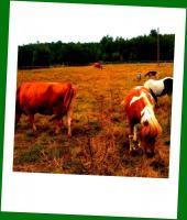 obornik bydlęcy,koński,kozi - sezonowany z dowozem