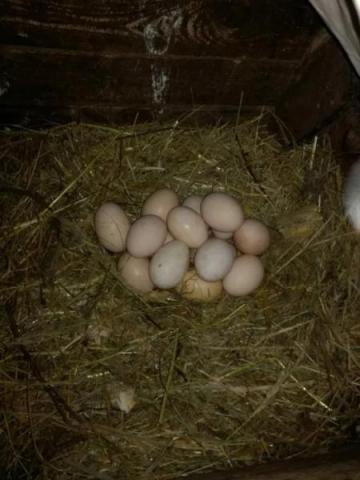 Swojskie jajka 10zł-->10sztuk