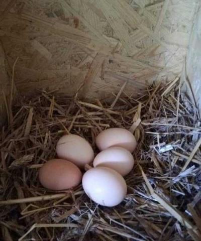 Jajka eko od kur naturalnie karmionych